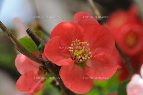 ボケの花の素材 [FYI00450245]
