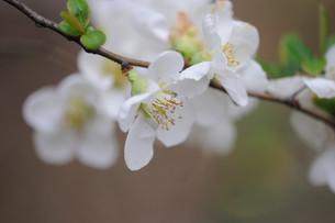 ボケの花の素材 [FYI00450247]