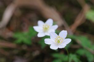 一輪草の花の素材 [FYI00450248]