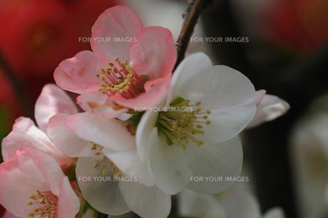 ボケの花の素材 [FYI00450251]
