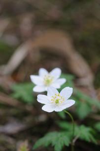 一輪草の花の素材 [FYI00450259]