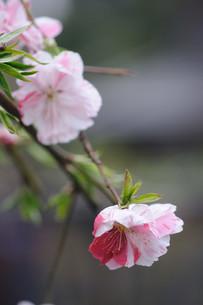花ももの素材 [FYI00450274]