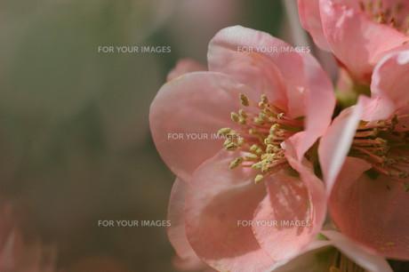 ボケの花の素材 [FYI00450433]