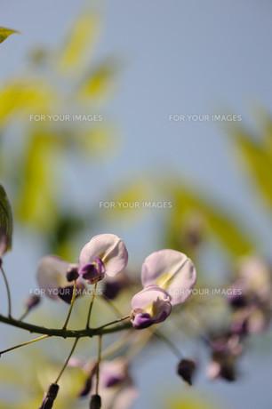 フジの花の素材 [FYI00450498]