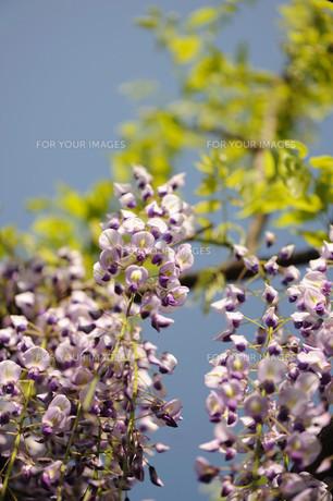 フジの花の素材 [FYI00450502]
