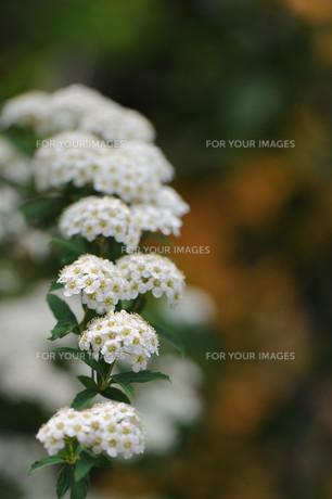 コデマリの花の素材 [FYI00450545]