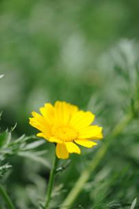 春菊の花の素材 [FYI00450621]