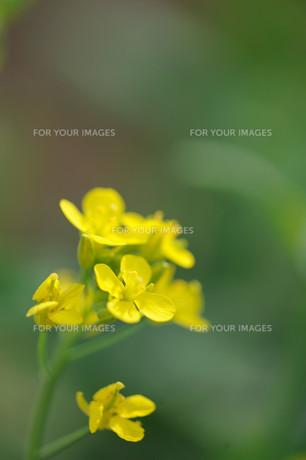 菜の花の素材 [FYI00450625]