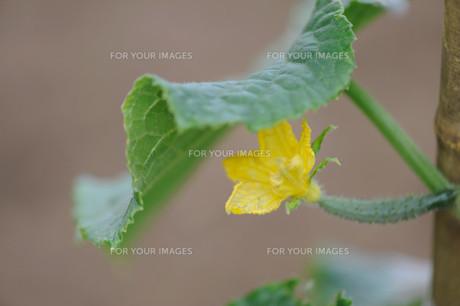きゅうりの花の写真素材 [FYI00450716]
