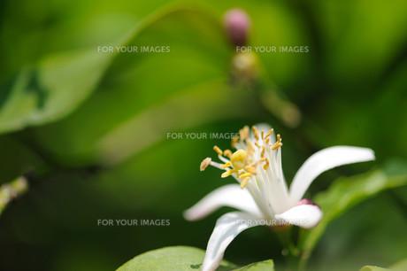 ゆずの花の素材 [FYI00450724]