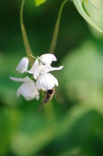 イカリソウとハチの素材 [FYI00450725]