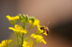 かきなの花とハチの素材 [FYI00450727]