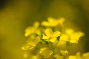 かきなの花の素材 [FYI00450729]