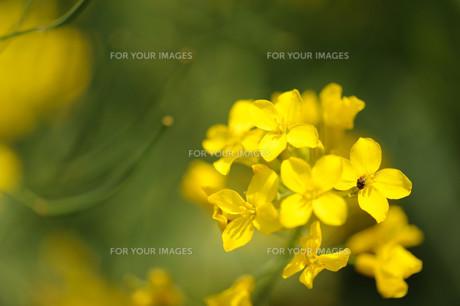 かきなの花の素材 [FYI00450730]
