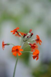 オレンジクリンソウの写真素材 [FYI00450918]