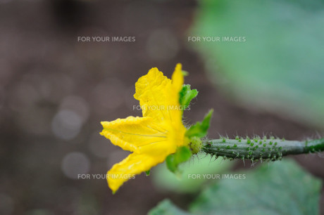 きゅうりの花の写真素材 [FYI00450938]