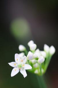 にらの花の素材 [FYI00450945]