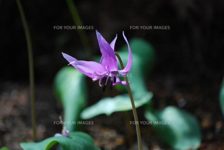 カタクリの花の素材 [FYI00451038]