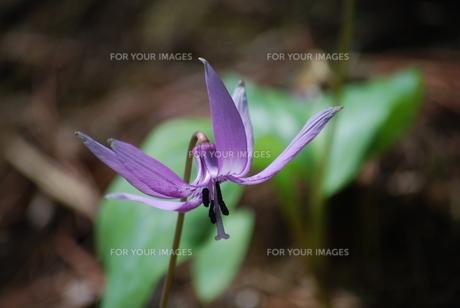 カタクリの花の素材 [FYI00451046]