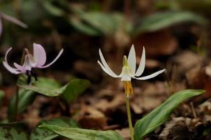 白花のカタクリの素材 [FYI00451063]