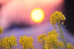菜の花と夕日の写真素材 [FYI00451424]