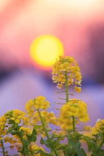 菜の花と夕日の写真素材 [FYI00451426]