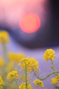 菜の花と夕日の写真素材 [FYI00451433]