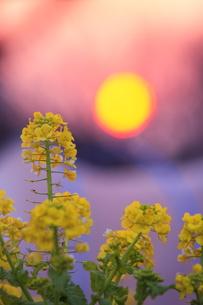 菜の花と夕日の写真素材 [FYI00451437]