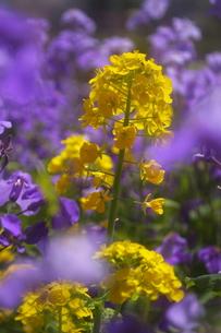 春の花 菜の花の写真素材 [FYI00451448]
