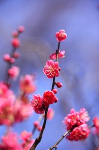 春の花 紅梅の写真素材 [FYI00451459]