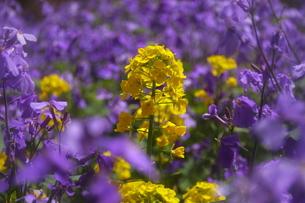 春のイメージ 菜の花の写真素材 [FYI00451472]