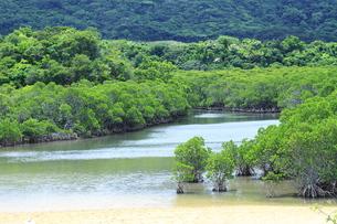 石垣島のマングローブの素材 [FYI00451814]
