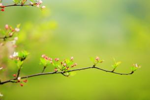 奥日光 戦場ヶ原のずみの花の写真素材 [FYI00451880]
