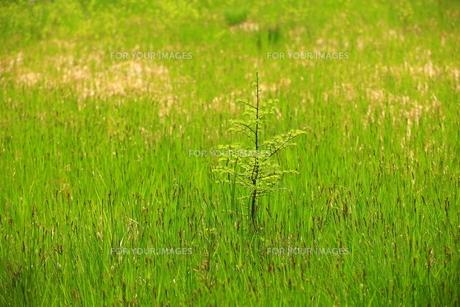 奥日光 新緑の戦場ヶ原の写真素材 [FYI00451898]