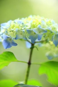 紫陽花のイメージの写真素材 [FYI00451953]