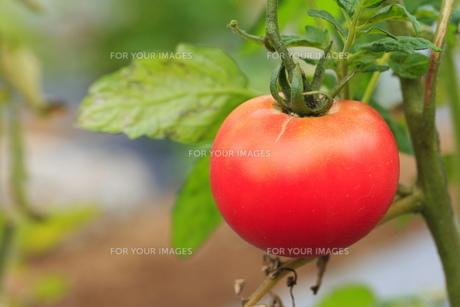 完熟トマトの素材 [FYI00452252]