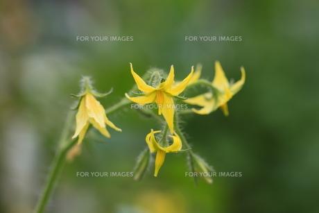 野菜の花 トマトの花の素材 [FYI00452256]