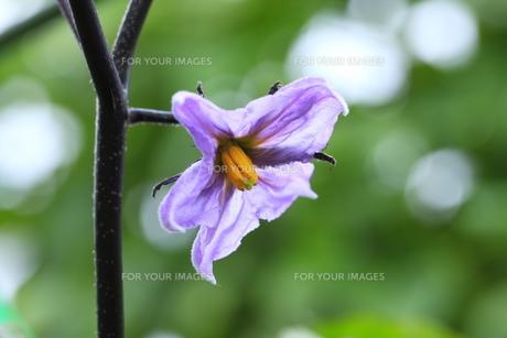 茄子の花の素材 [FYI00452258]