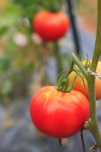 完熟トマトの素材 [FYI00452262]