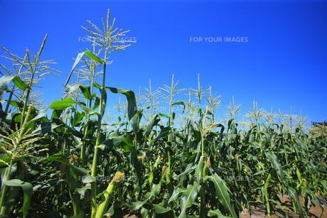 とうもろこし畑と秋の空の写真素材 [FYI00452274]