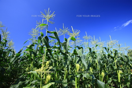 とうもろこし畑と青空の写真素材 [FYI00452284]