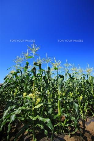 とうもろこし畑と青空の写真素材 [FYI00452289]