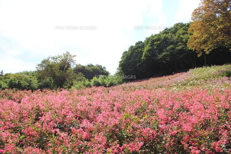 サルスベリの花畑の素材 [FYI00452331]