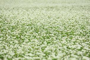 そばの花の写真素材 [FYI00452357]