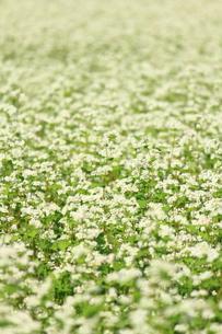 そば畑の写真素材 [FYI00452359]