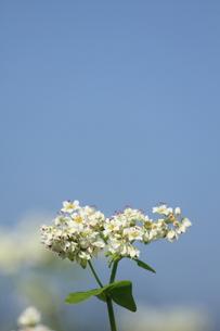 そばの花の写真素材 [FYI00452361]