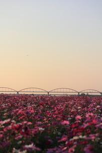 コスモス畑と日本一の水管橋の写真素材 [FYI00452390]
