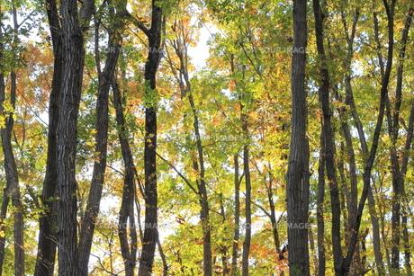 雑木林の紅葉の素材 [FYI00452425]