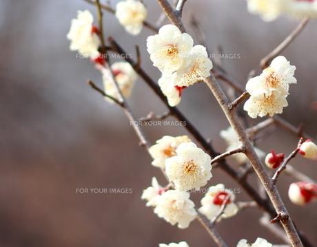 梅の花の素材 [FYI00452530]