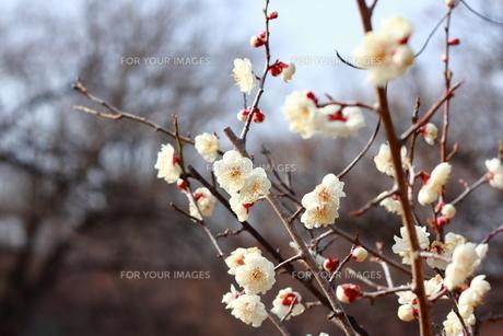 梅の花の素材 [FYI00452535]